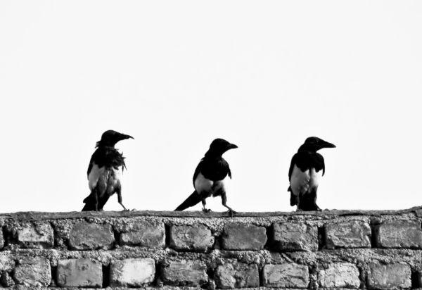 Asian Crow...