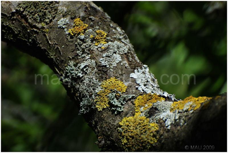 Lichens on a plum tree branch