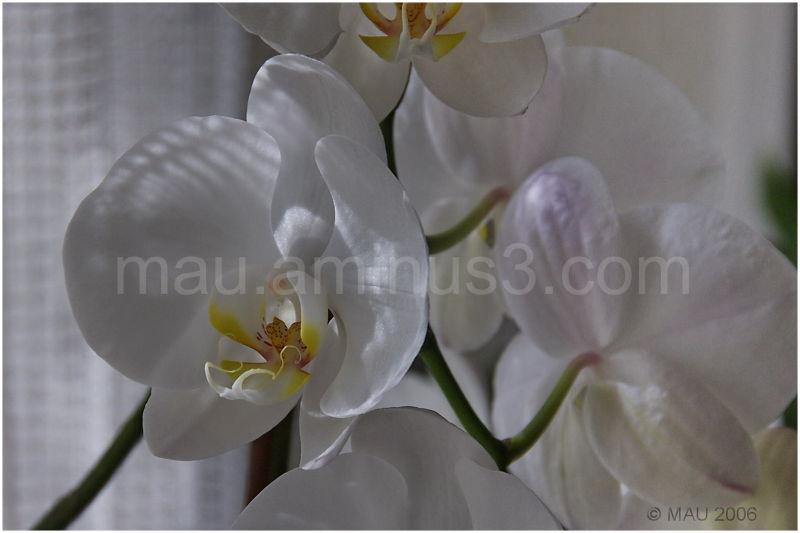 Orquídea - Orchid