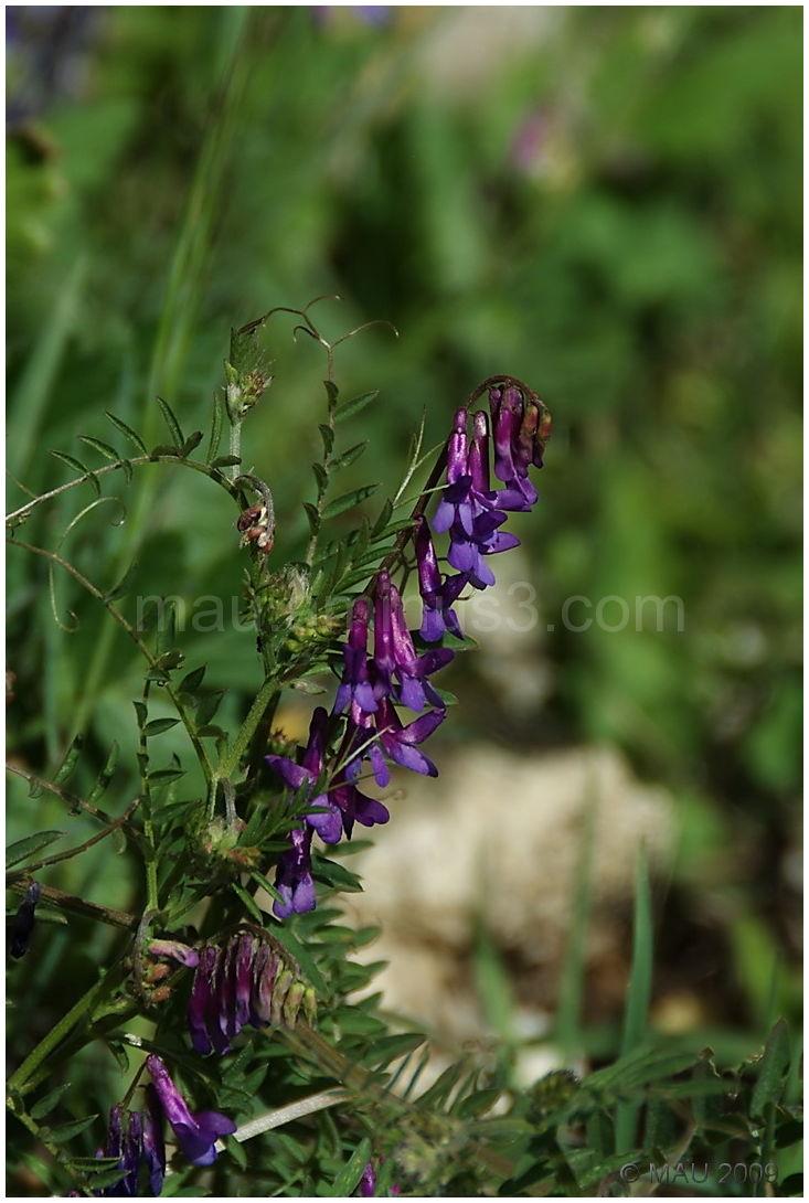 Flor silvestre - Wild flower