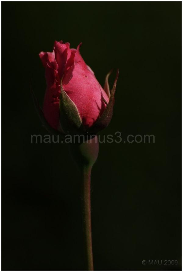 Será una rosa   Will be a rose