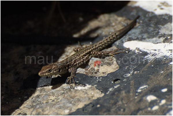 Lagartija   Lizard