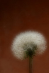 Yes, yes. Another Dandelion