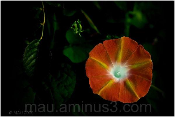 Bellflower in darkness