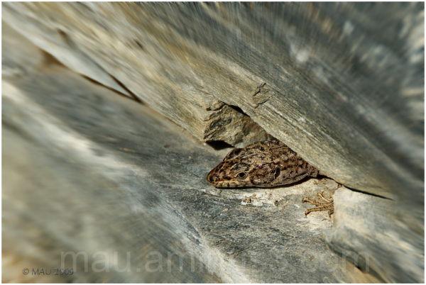 Zoomed lizard