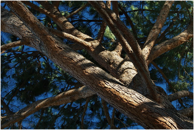 My neighbour's Mediterranean pine tree
