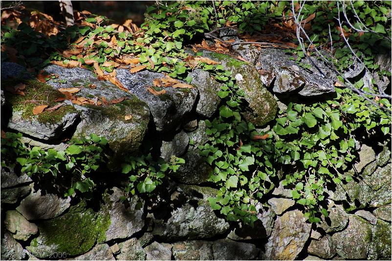 Hiedra sobre un muro de piedra