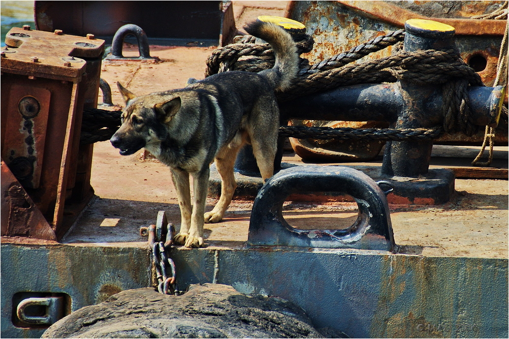 Perro pastor alemán guardando el muelle