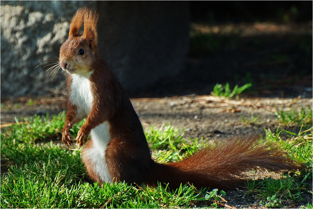ardilla squirrel