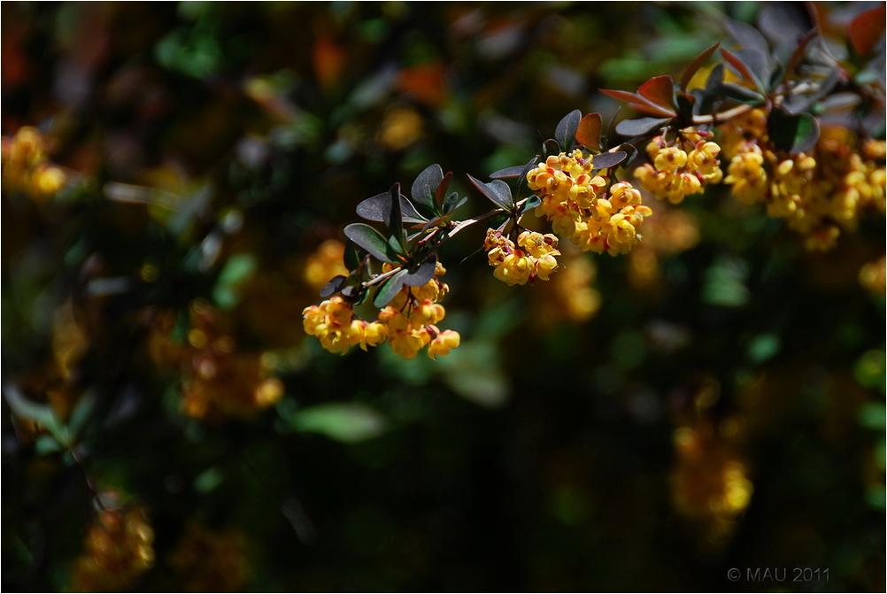 Flores amarillas de un árbol