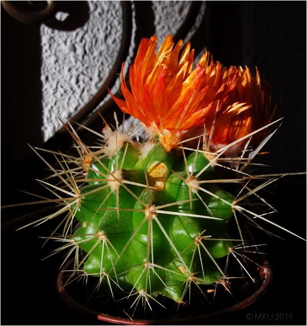 Pequeño cactus con flor
