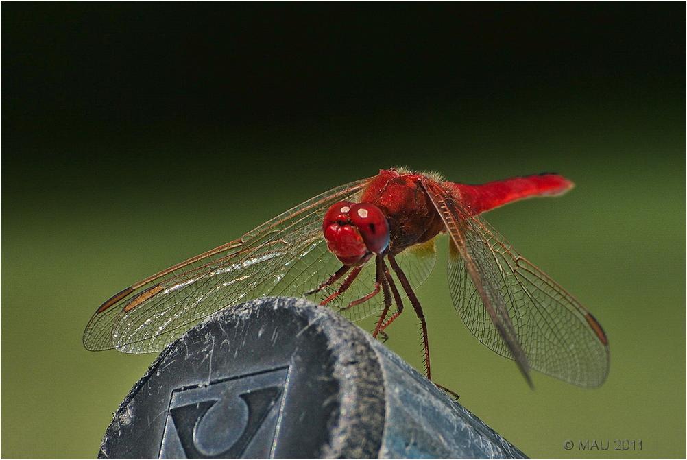 Libelula roja