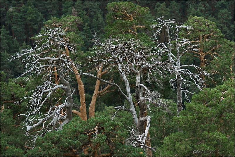 Tres pinos secos en medio de un bosque