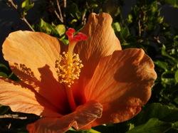 Hibiscus anaranjado