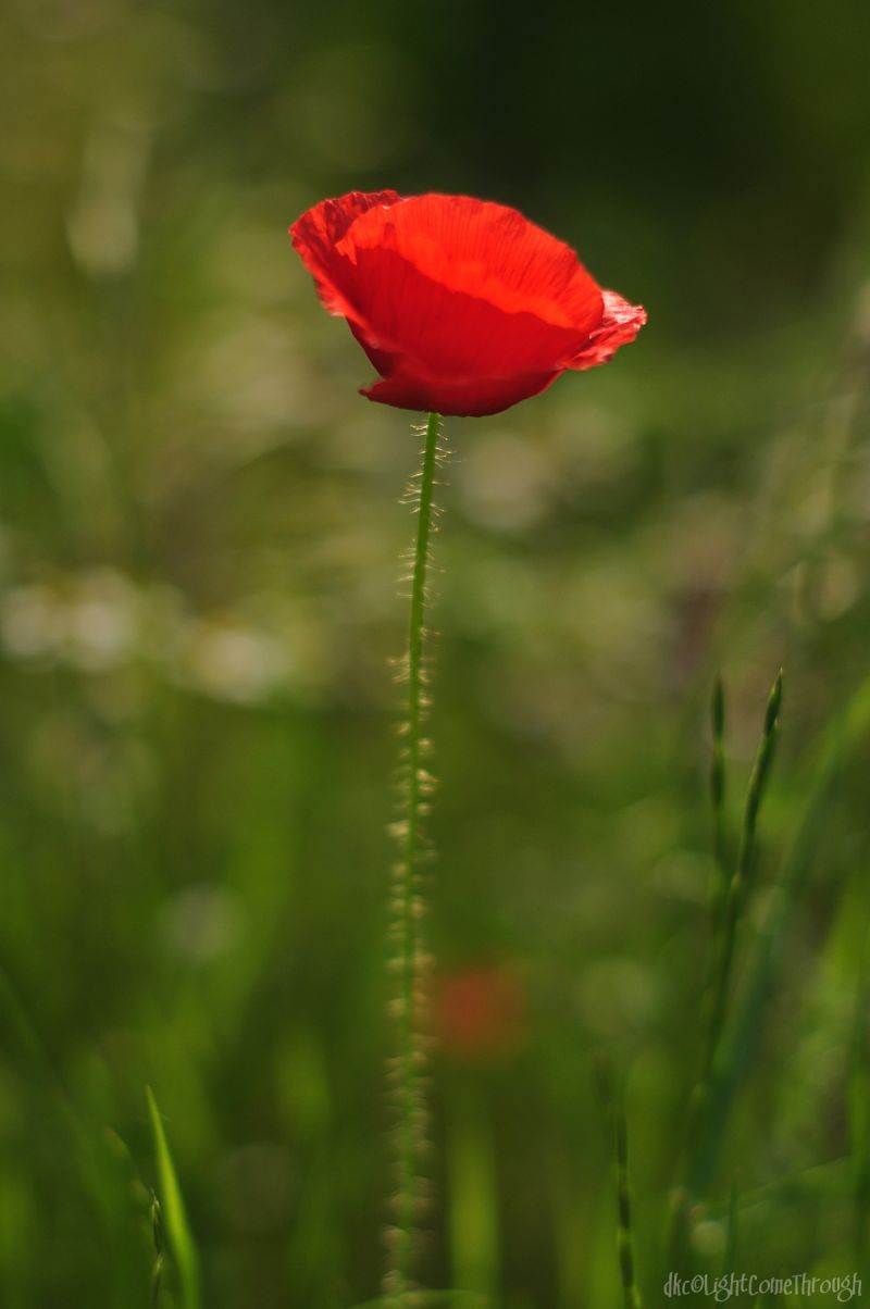 red flower on a bokeh background