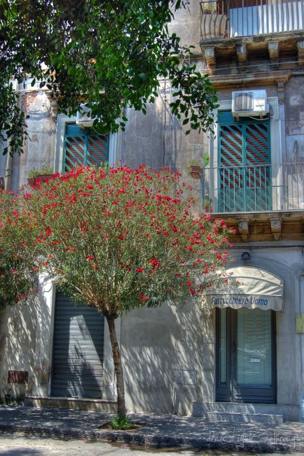 dark red blossoms in Catania...