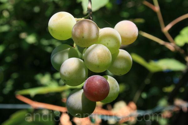 Grape in own Garden