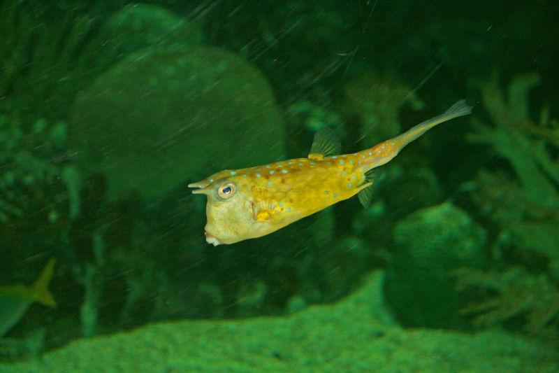 Boxfish, Trunkfish