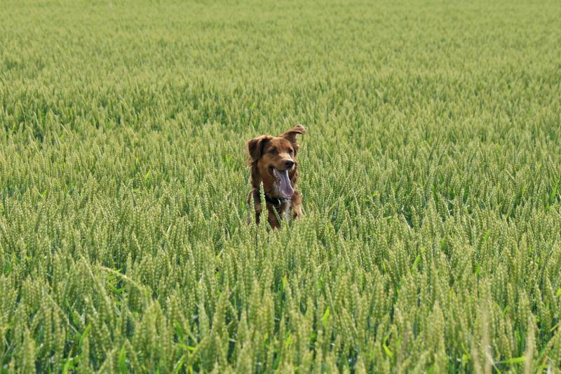 Kein Bett, aber ein Hund im Kornfeld ;)