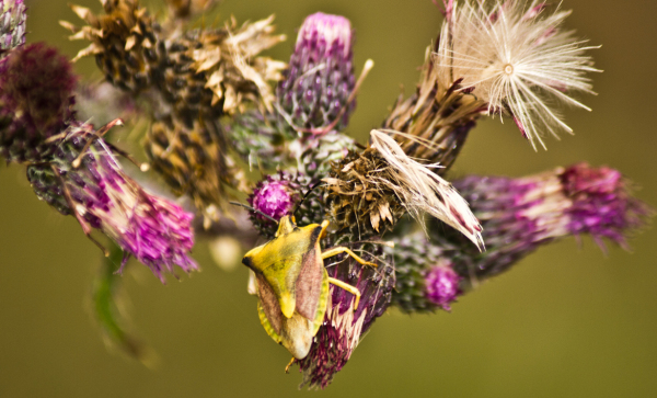 Another Thistle with a kind of Shieldbug