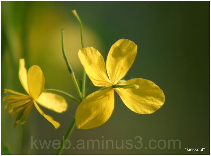 """Chélidoine, dit """"herbe à verrue"""" mai 2009"""