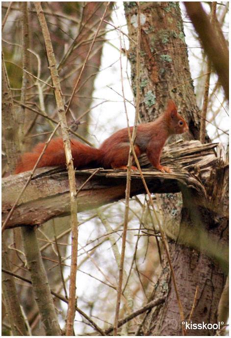 ecureuil roux à Sorques, fevrier 2009