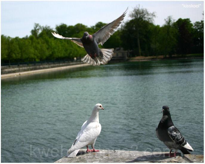 Pigeons au chateau de Fontainebleau mai 2008