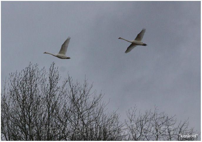 des oies dans le ciel de Sorques, fevrier 2009