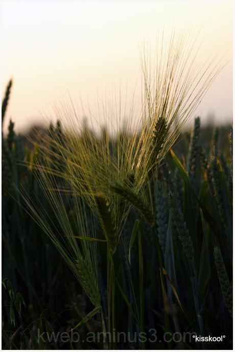 2pis de blé en seine et marne (aout2009)