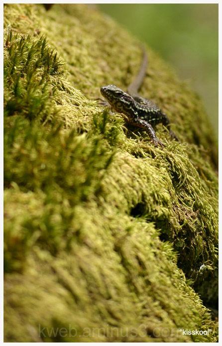 lézard en forêt de fontainebleau (mai 2008)