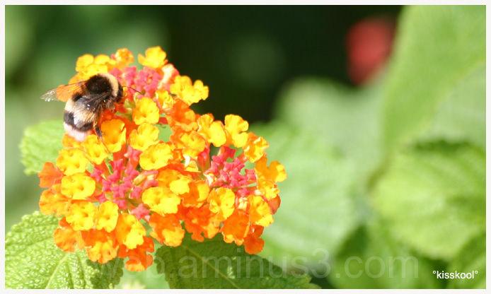 abeille sur une fleur en aout 2009