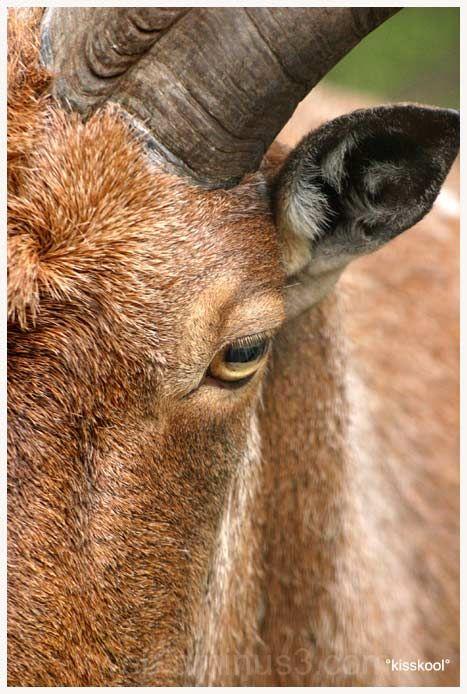 Mouflon male, parc de l'emprunt (juillet 2009)