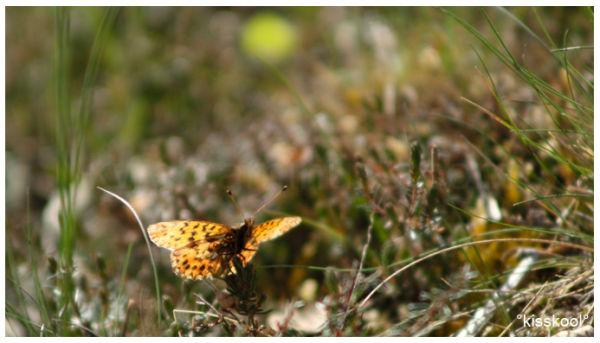 Papillon, fontainebleau, avril 2011