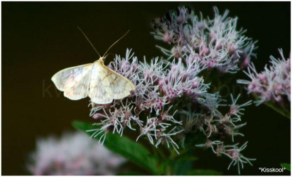 Papillon, fontainebleau, Septembre 2010