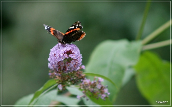papillon août 2012