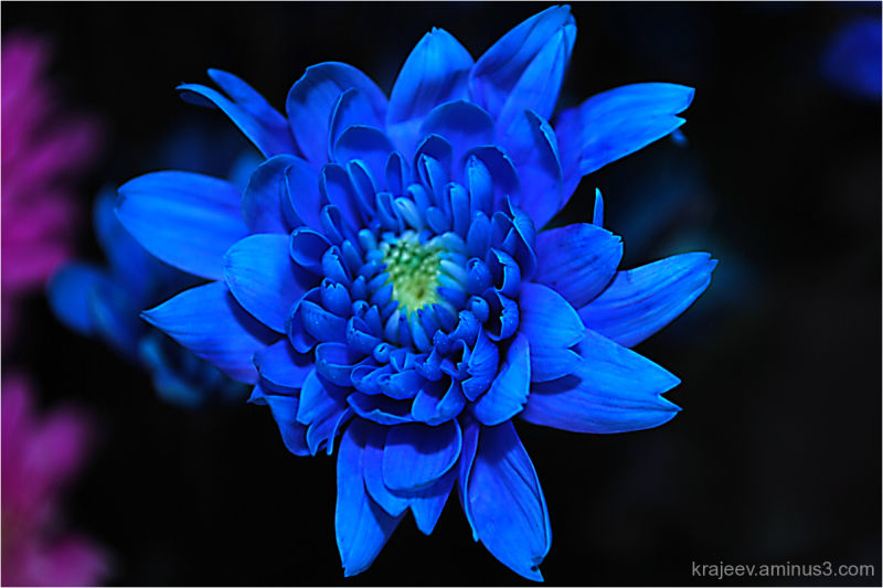 blue chrysanthemum - Plant & Nature Photos - rajeev's ...