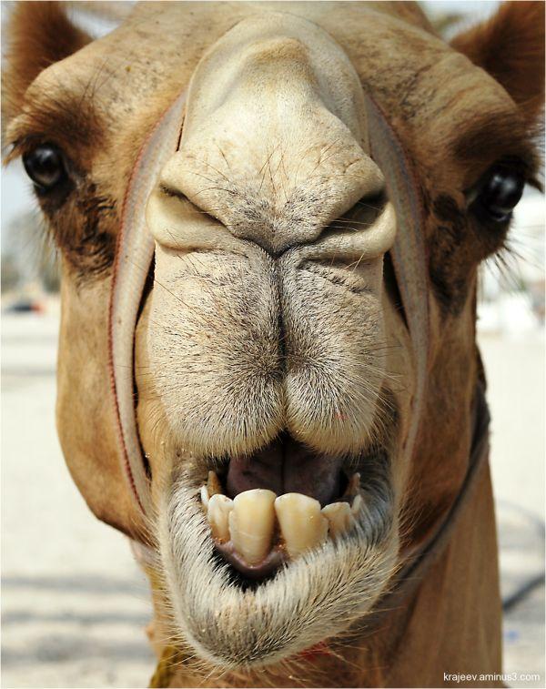 camel head close-up