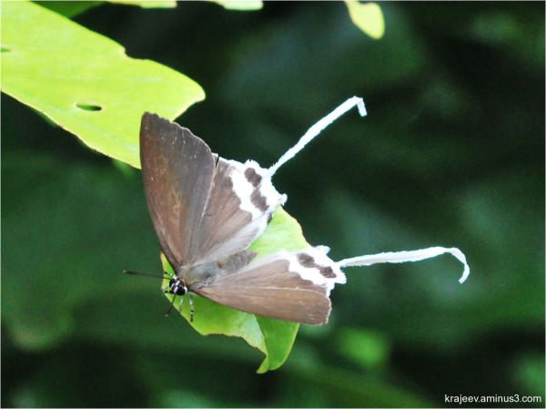 butterfly - Common Imperial