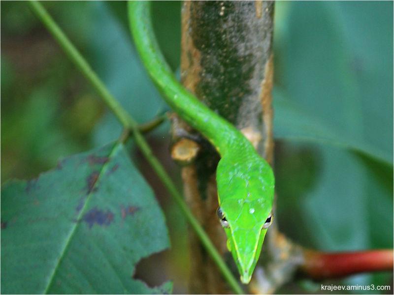 The Green vine snake (Ahaetulla nasuta