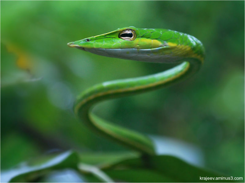 The Green vine snake (Ahaetulla nasuta)