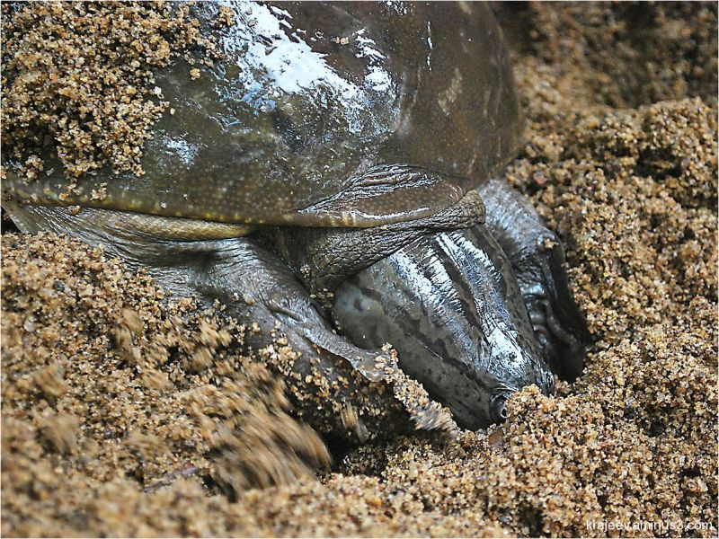 river turtle 4