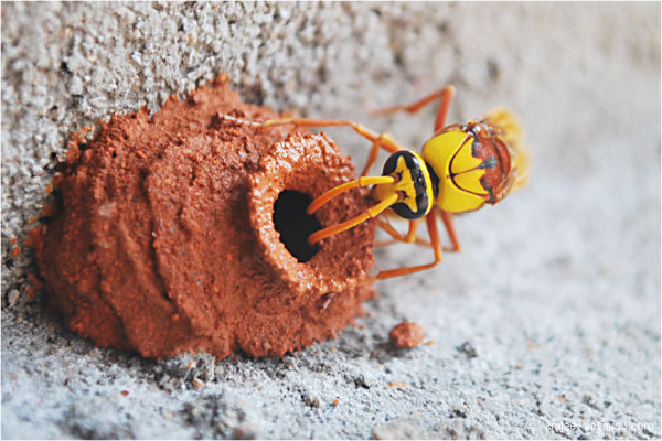 A potter wasp on her way of making nest