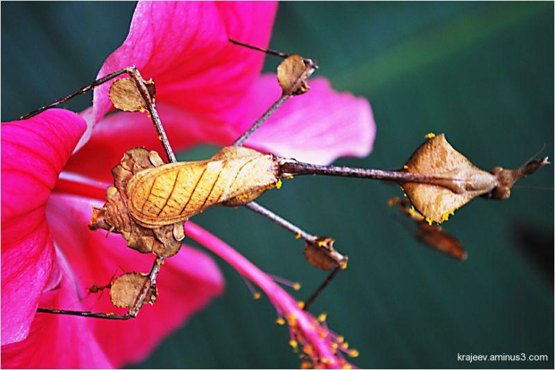 Dead Leaf Praying Mantids