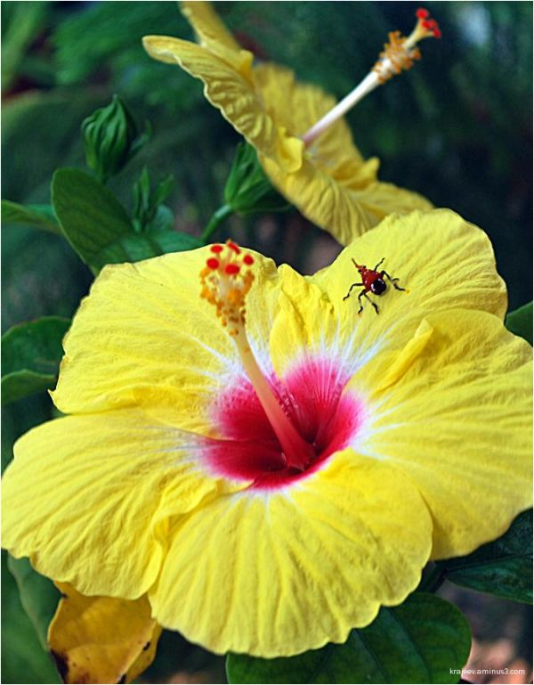 yellow Hibiscus rosa & red bug