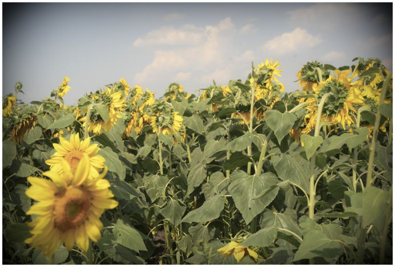 sunflower field, Ukraine