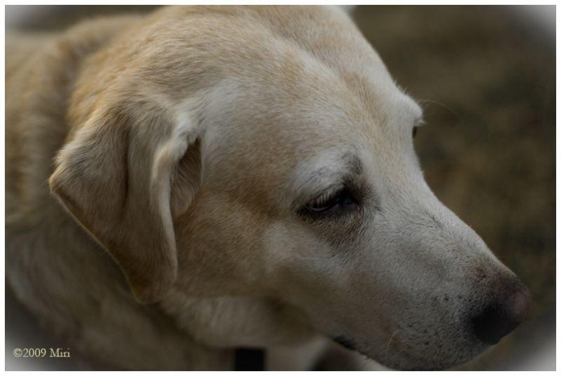 labradour,  dog,
