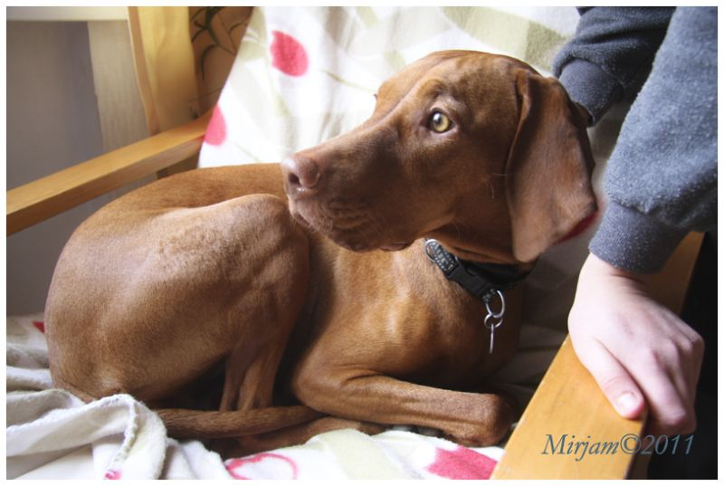 a dog, Vizsla