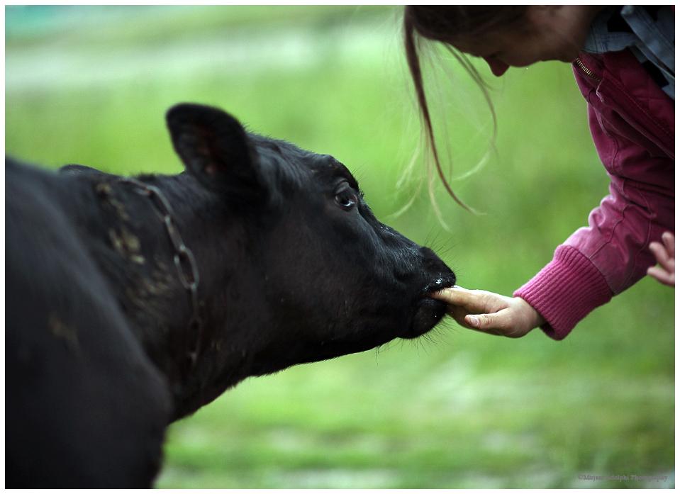 calf and girl