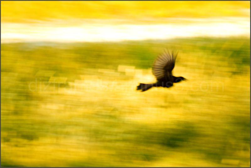 A blackbird flying away