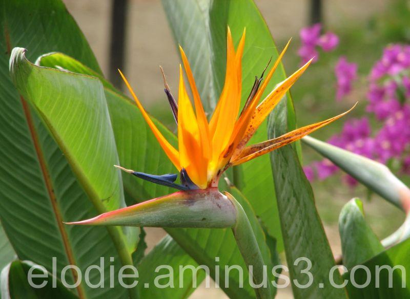 Beauté du printemps  : l'oiseau du paradis